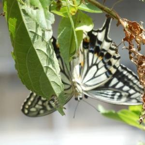 アゲハチョウ 交尾飛行で ひと休み