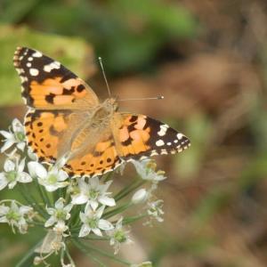 アカタテハ スズメバチまで ニラの花