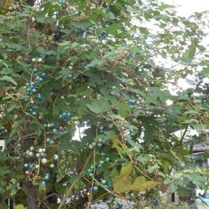 青や白 実は輝けど ノブドウか?