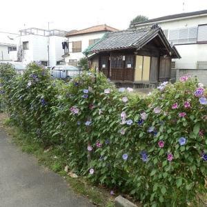 生け垣に 朝顔の咲く 稲荷かな(これも雪塚稲荷神社?)