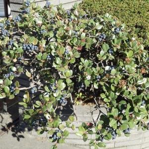 青き実に白き花添え車輪梅(シャリンバイ)