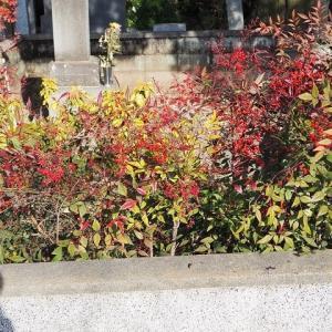 南天にコロナ退散願いたし/赤き実光る中院の庭