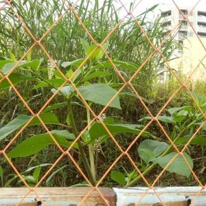 ヤマゴボウ今年はフェンス中に咲き(地方庁舎跡)