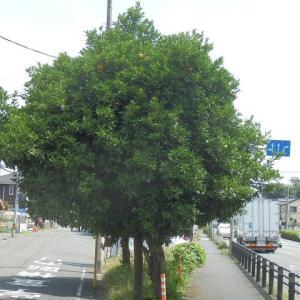 オレンジと青い実なりてひこばえも(浅間神社前・国道16号歩道脇)