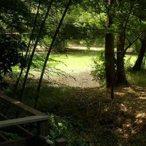 水なくて緑の池に幾何模様/木漏れ日にオオバギボウシ白き花(仙波河岸史跡公園)