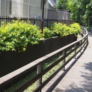 木製のデッキ彩るビヨウヤナギ(仙波河岸史跡公園)