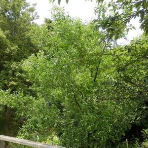 公園にアカメガシワとナツメ咲く/池の水いつもと変らず木を映す(仙波河岸史跡公園)
