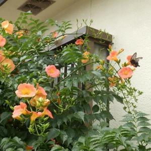 オレンジのノウゼンカズラに黒アゲハ(カラスアゲハかも)