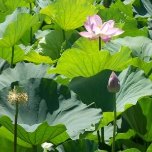 ハス沼に花より目立つ赤日傘/葉の上でバンはひたすら羽繕い(伊佐沼)
