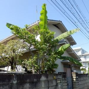 塀の外ぽつりと垂れて芭蕉花/はるか離れてバナナに似た実