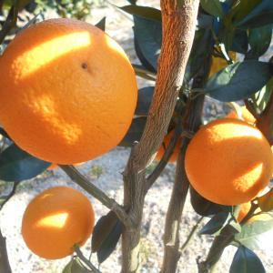 枝葉つきの柑橘、、、、、(*^_^*)