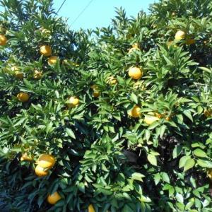 柑橘農家のモデルを作りたい、、、、、、(*^_^*)