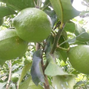 レモンの生育の遅れ、、、、、、、、(__)