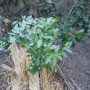 柑橘栽培と、野菜栽培の違い、、、、、、(*^_^*)