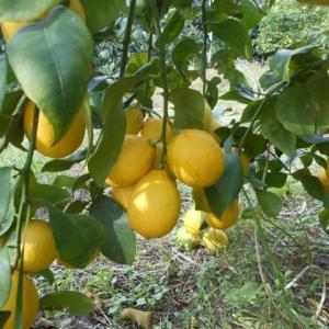 果物の完熟、、、、、、(*^_^*)