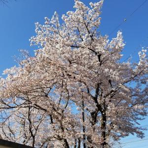撮り鉄してみた! 福生市加美平南公園で青梅線と満開の桜
