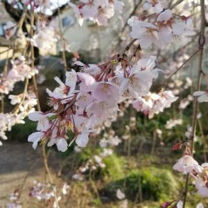 羽村市・介山公園のしだれ桜がきれい! 【画像・動画】