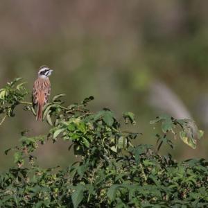 日々是探鳥〜ノビタキ、ホオジロ、ハクセキレイほか 身近な野鳥たち...part759...part 759