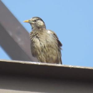 日々是探鳥〜身近な野鳥(ムクドリ、コゲラ、メジロなど)...part 798