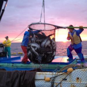 秋サケ定置網漁