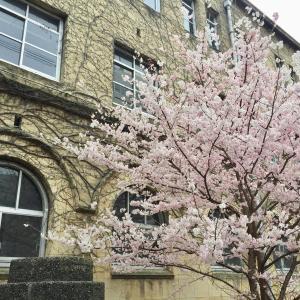 高辻通りの桜