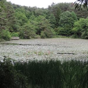 蛇の池-睡蓮