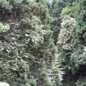 マタタビの白い葉