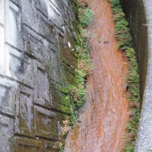 宮迫川の鯉