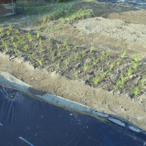 遊びの菜園-陸稲