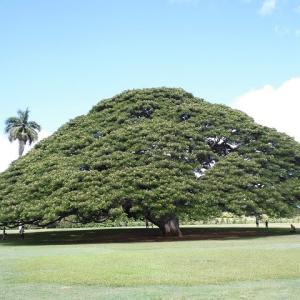 「この木 なんの木 気になる木/日立の樹」