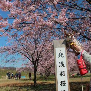 北浅羽桜堤公園2020(安行桜)