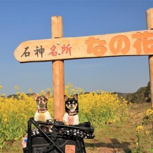 小湊鉄道と菜の花(2020)