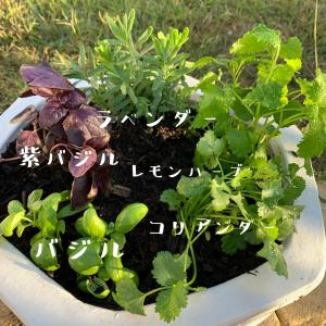 ハーブの寄せ植え バニングスが可愛くなってる