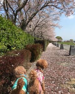 桜、SAKURA、桜!