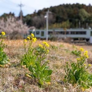 菜の花咲いた (八高線)
