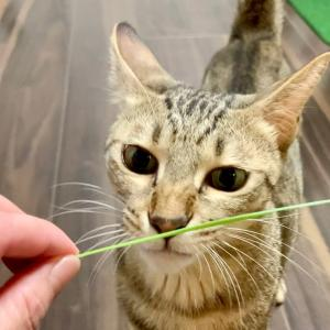はじめての猫草