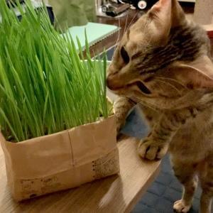 猫草大好き兄弟