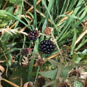 夏は野生のブラックベリーでパブロバを作る♪