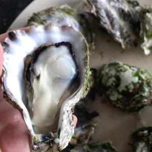 ニュージーランド の野生の牡蠣の収穫と初心者でもできる簡単な牡蠣の捌き方!
