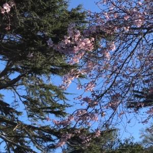 オークランド桜の季節がもうすぐそこ。みんなが幸せな気分になれますように♪
