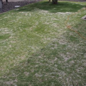 その後の芝。その2