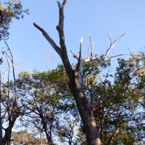 急遽伐採 立ち枯れたカラスザンショウの木を倒せました