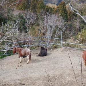 ようやく丸馬場の柵直し