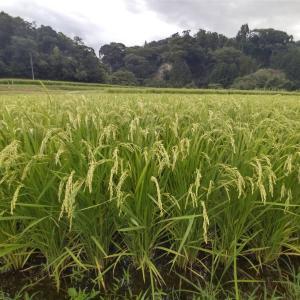 早場米の刈り取りも間近 湧水と虹