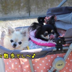 3姉妹お散歩~ひなたん抜糸前~でし♪