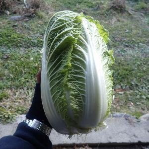 【初?!】白菜の収穫(2019年12月8日)