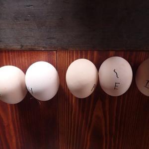再び孵化しなかった卵を調べる