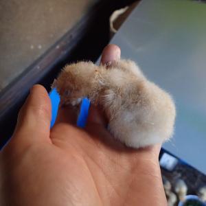 ヒヨコを育雛箱に移す・1羽が夭逝(2020年7月31日・8月1日)