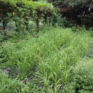 陸稲も大変である・飼料米