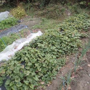 不作のサツマイモ収穫(2020年10月16日)